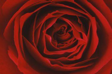 •Red Rose 1970