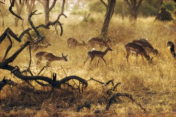 •Impala Grazing, East Africa 1970