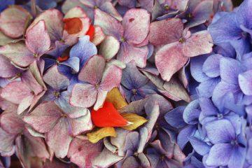 •Hydrangeas, California 1982