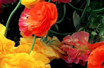 •Ranunculus, New York Botanical Gardens 1984