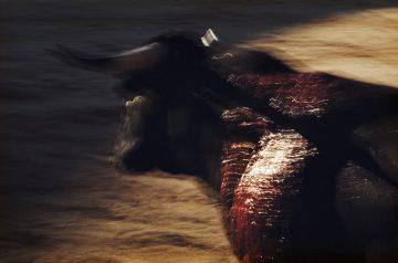 •Toro, Pamplona, Spain 1956