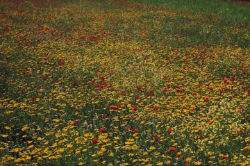 Yellow Meadow 1964