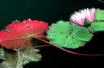 Water Lily, New York Botanical Gardens 1984